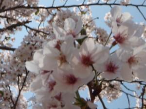 今年も日本酒を持って、ジャンジャンお花見をしましょうね。
