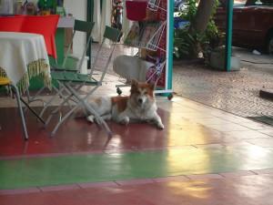 アパートにいるバンケーオ。(タイの狼犬)